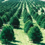 1280px-Christmas_tree_farm_IA_ source-United States Department of Agriculture -semicolon- National Resources Conservation Service