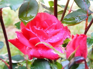 A Dew Covered Rose